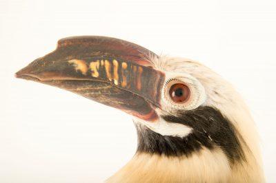 Photo: A Visayan hornbill (Penelopides panini panini) at the Plzen Zoo.