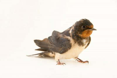 A barn swallow (Hirundo rustica rustica) at the Plzen Zoo.