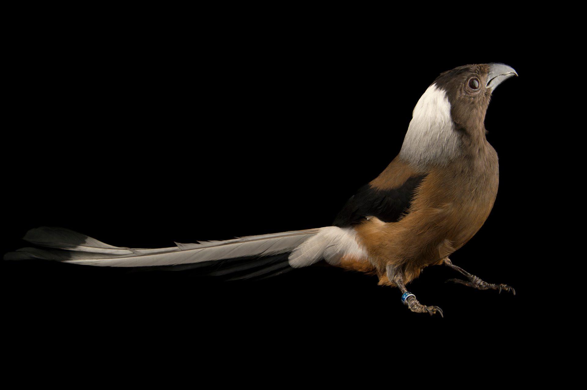 Photo: A Sumatran treepie (Dendrocitta occipitalis) at the Plzen Zoo.