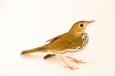 Photo: An ovenbird (Seiurus aurocapilla) at the Marathon Wild Bird Center in Marathon, Florida.