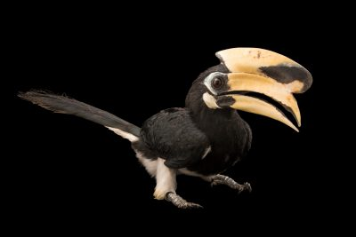Photo: A male Oriental pied hornbill (Anthracoceros albirostris convexus) at Jurong Bird Park, part of Wildlife Reserves Singapore.
