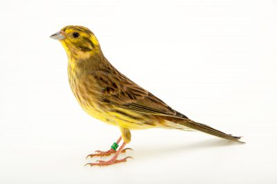 Photo: A yellowhammer (Emberiza citrinella) at the Plzen Zoo in the Czech Republic.