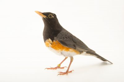 Photo: A black breasted thrush (Turdus dissimilis) at the Plzen Zoo in the Czech Republic.