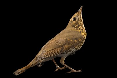 Photo: A song thrush (Turdus philomelos philomelos) at the Plzen Zoo in the Czech Republic.