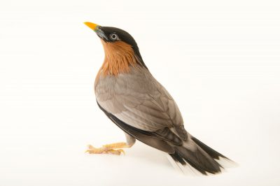 Photo: A brahminy starling (Sturnus pagodarum) at Plzen Zoo in the Czech Republic.