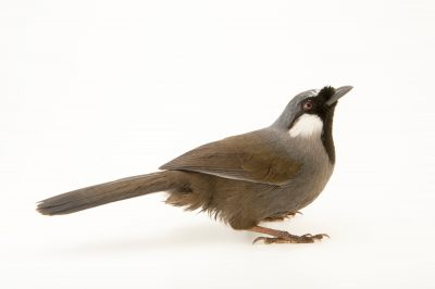 Photo: A black throated laughingthrush (Dryonastes chinensis chinensis) at the Plzen Zoo in the Czech Republic.