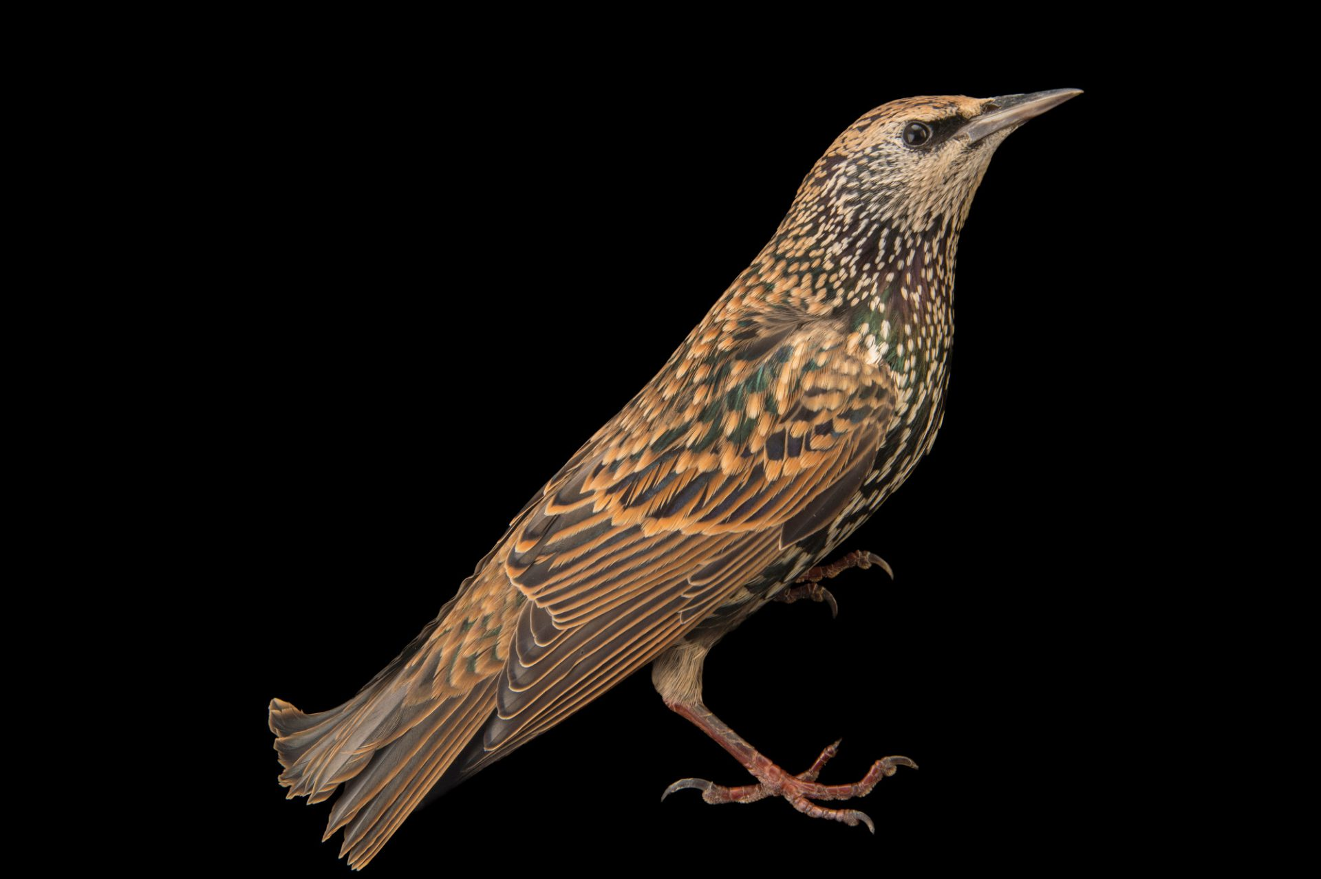Picture of a common starling (Sturnus vulgaris vulgaris) in winter plumage at the Plzen Zoo in the Czech Republic.