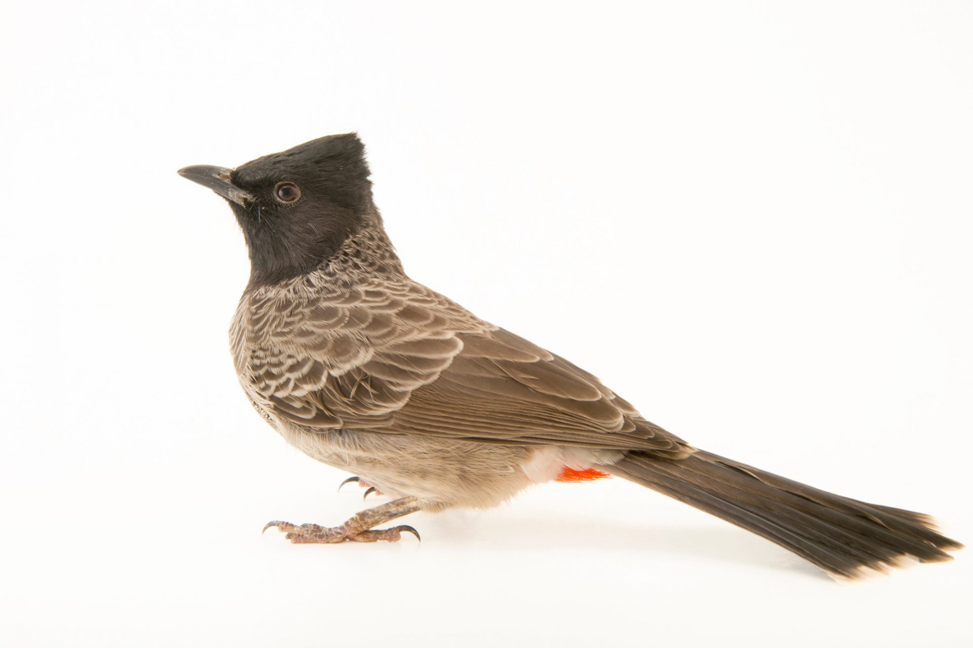 Photo: A red vented bulbul (Pycnonotus cafer) at the Plzen Zoo in the Czech Republic.