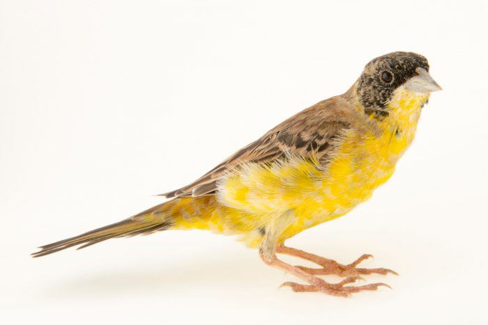 Photo: A black headed bunting (Emberiza melanocephala) in winter plumage at the Plzen Zoo in the Czech Republic.