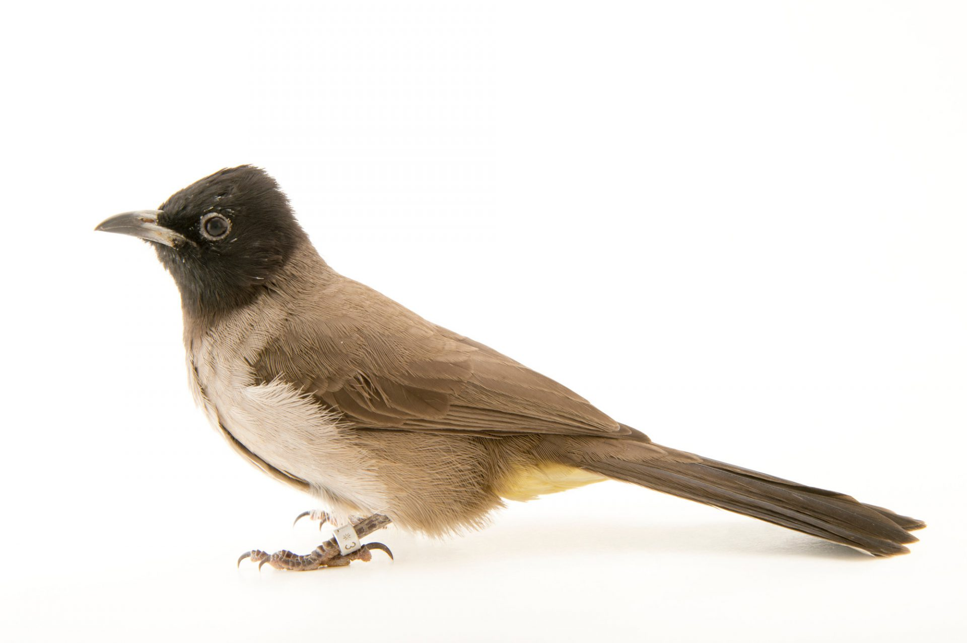 Photo: A white spectacled bulbul (Pycnonotus xanthopygos) at the Plzen Zoo in the Czech Republic.
