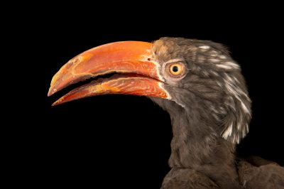 Photo: Crowned hornbill (Tockus alboterminatus) at the San Antonio Zoo.