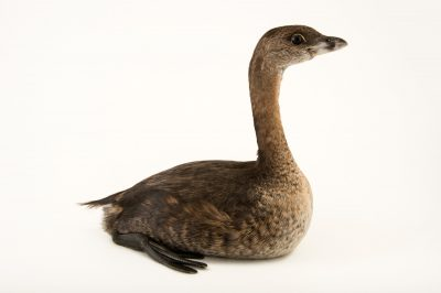 Photo: Pied-billed grebe (Podilymbus podiceps) from Nebraska Wildlife Rehab in Omaha, Nebraska.