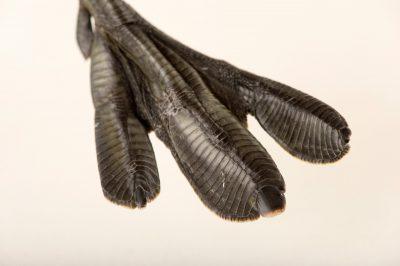 Photo: Pied-billed grebe (Podilymbus podiceps) from Nebraska Wildlife Rehab in Omaha, Nebraska.