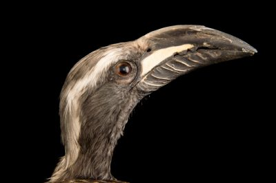 Photo: African grey hornbill (Tockus nasutus) from Le Parc des Oiseaux in Villars Les Dombes, France.