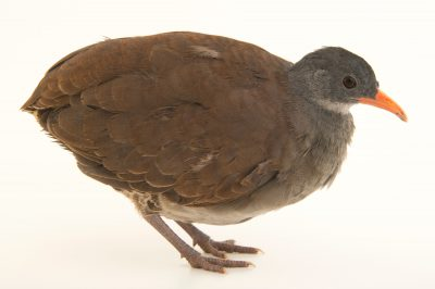 Photo: Tataupa tinamou (Crypturellus tataupa) from Le Parc des Oiseaux in Villars Les Dombes, France.