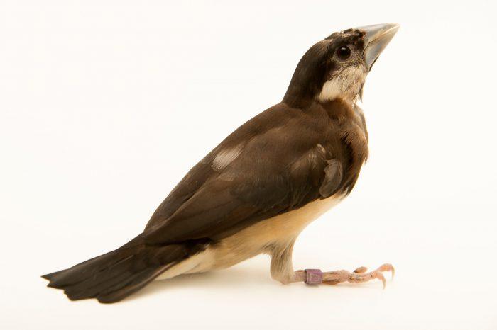 Photo: Timor sparrow (Lonchura [Padda] fuscata) from Le Parc des Oiseaux in Villars Les Dombes, France.