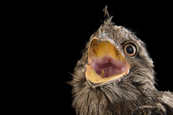 A two-month-old Tawny frogmouth (Podargus strigoides) from Le Parc des Oiseaux in Villars Les Dombes, France.