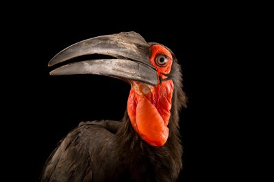 Picture of a vulnerable Southern ground hornbill (Bucorvus leadbeateri) from Parc des Oiseaux.