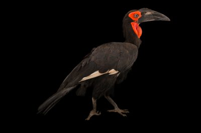 Photo: Southern ground hornbill (Bucorvus leadbeatteri) from Parc des Oiseaux in Villars Les Dombes, France.