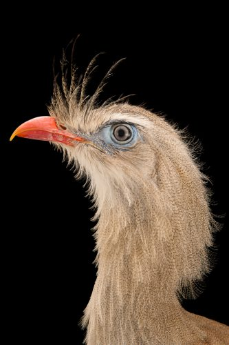 Photo: Red-legged seriama (Cariama cristata) from Parc des Oiseaux in Villars Les Dombes, France.