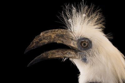 An endangered white-crowned hornbill (Berenicornis comatus), named Raja at the St. Augustine Alligator Farm.    Genus for the white-crowned hornbill vacillates between Aceros comatus and Berenicornis comatus.