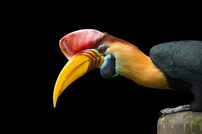 Photo: A red-knobbed hornbill (Rhyticeros cassidix) named Kong at the St. Augustine Alligator Farm.