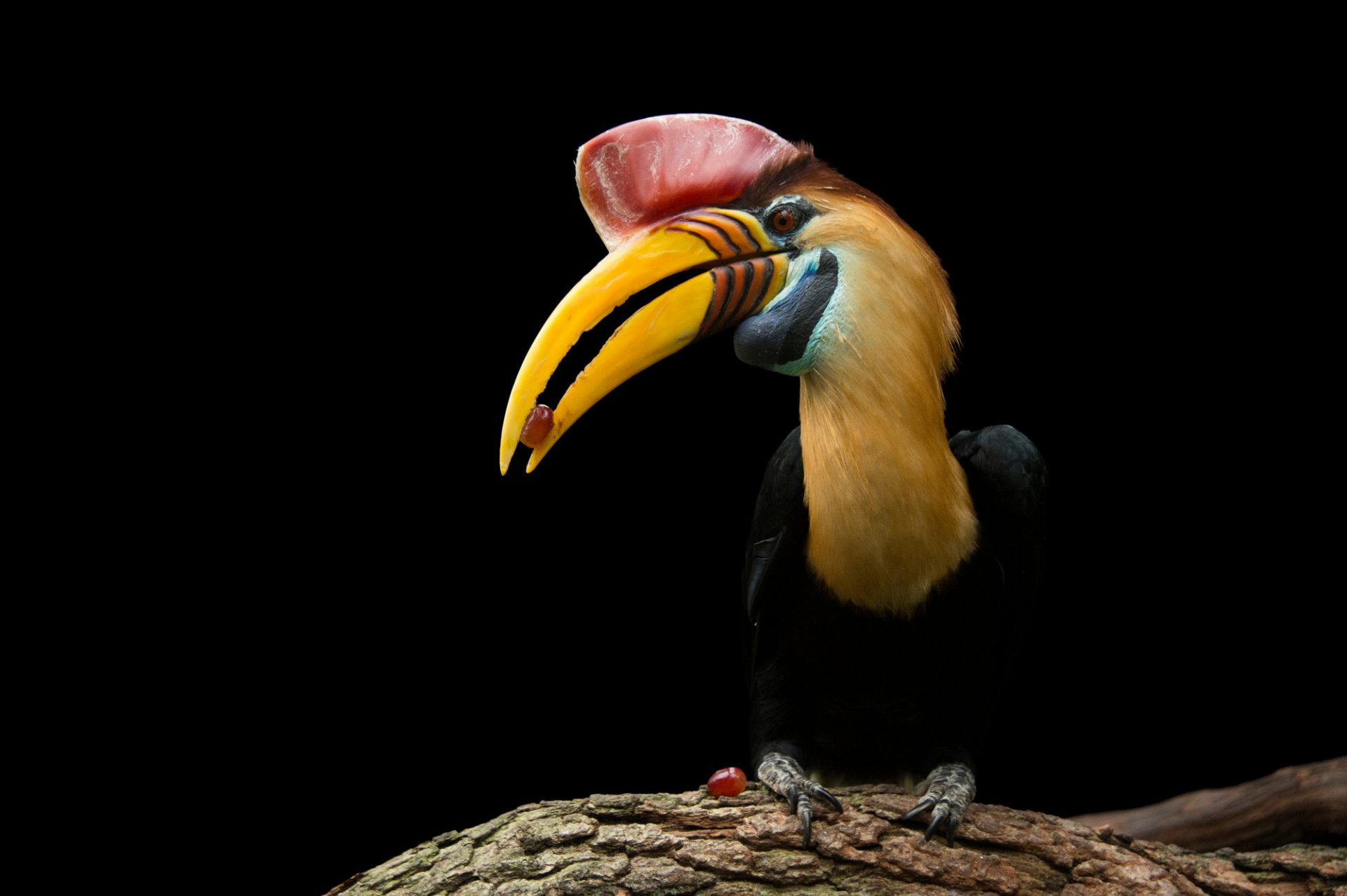 A red-knobbed hornbill (Rhyticeros cassidix) named Kong at the St. Augustine Alligator Farm.