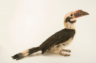 Photo: Luzon hornbill (Penelopides manillae manillae) at the Plzen Zoo in the Czech Republic.