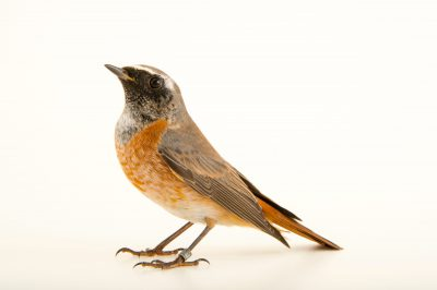 Photo: Common redstart (Phoenicurus phoenicurus) at the Plzen Zoo in the Czech Republic.