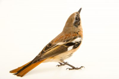 Photo: EversmannÕs redstart (Phoenicurus erythronotus) at the Plzen Zoo in the Czech Republic.