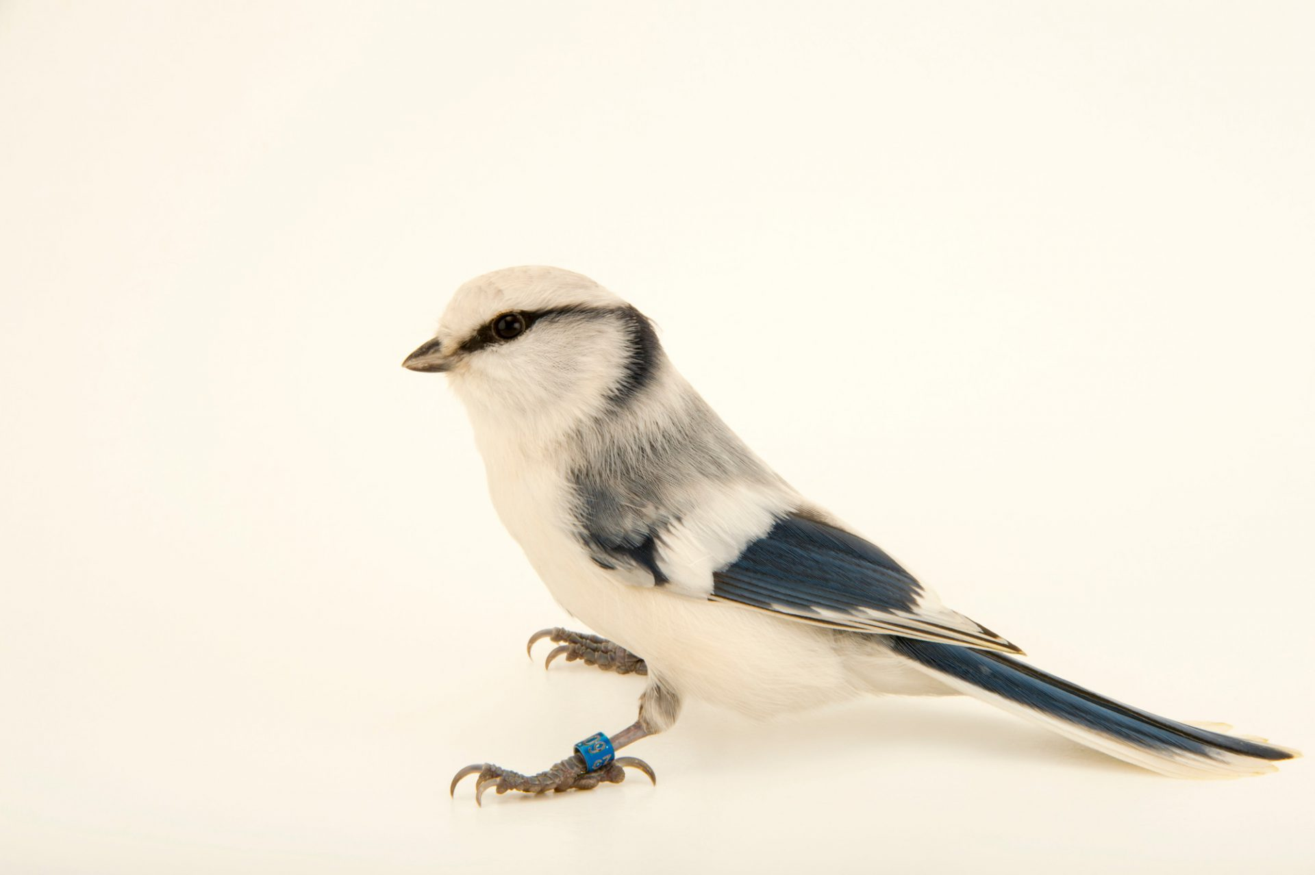 Photo: Azure tit (Parus cyanus cyanus) from ural mountains, at the Plzen Zoo in the Czech Republic.