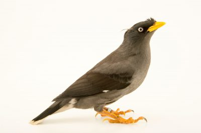 Photo: Pale bellied myna (Acridotheres cinereus) at the Plzen Zoo in the Czech Republic.