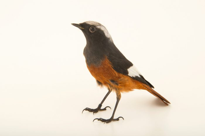 Photo: White winged redstart (Phoenicurus erythrogaster) at the Plzen Zoo in the Czech Republic.