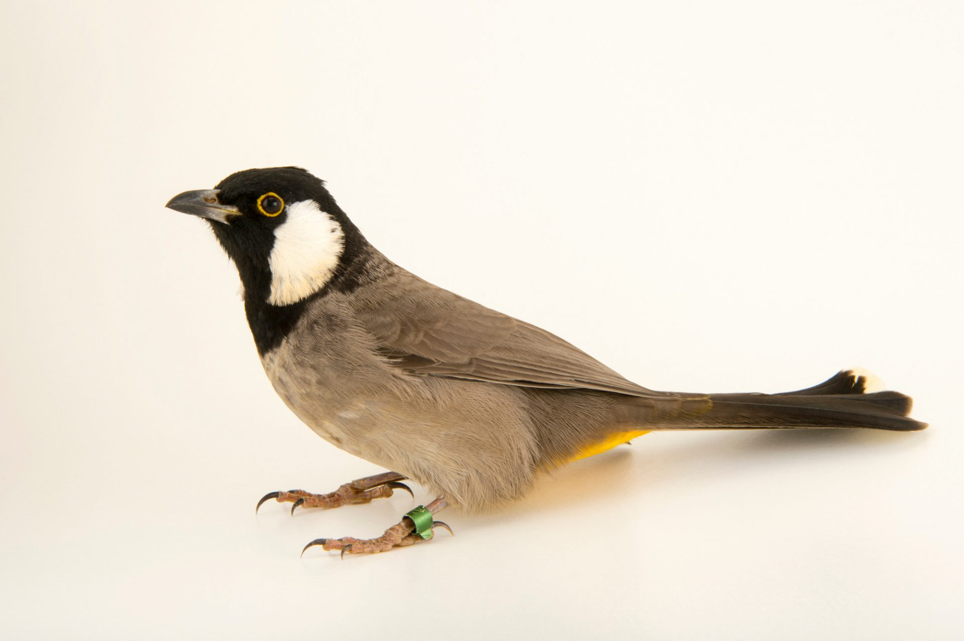 Photo: White eared bulbul (Pycnonotus leucotis mesopotamia) at the Plzen Zoo in the Czech Republic.