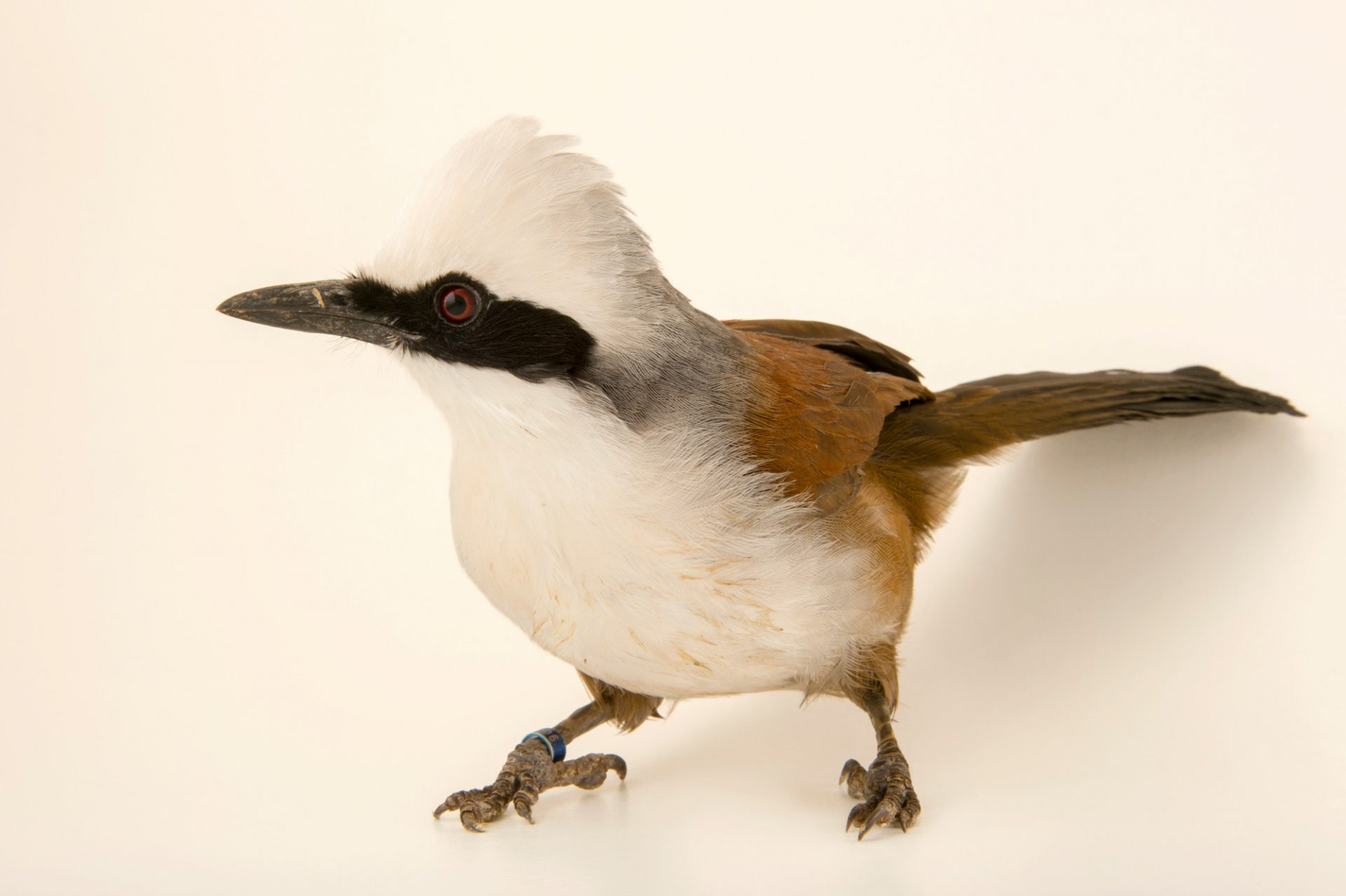 Photo: White crested laughingthrush (Garrulax leucolophus diardi) at the Plzen Zoo in the Czech Republic.