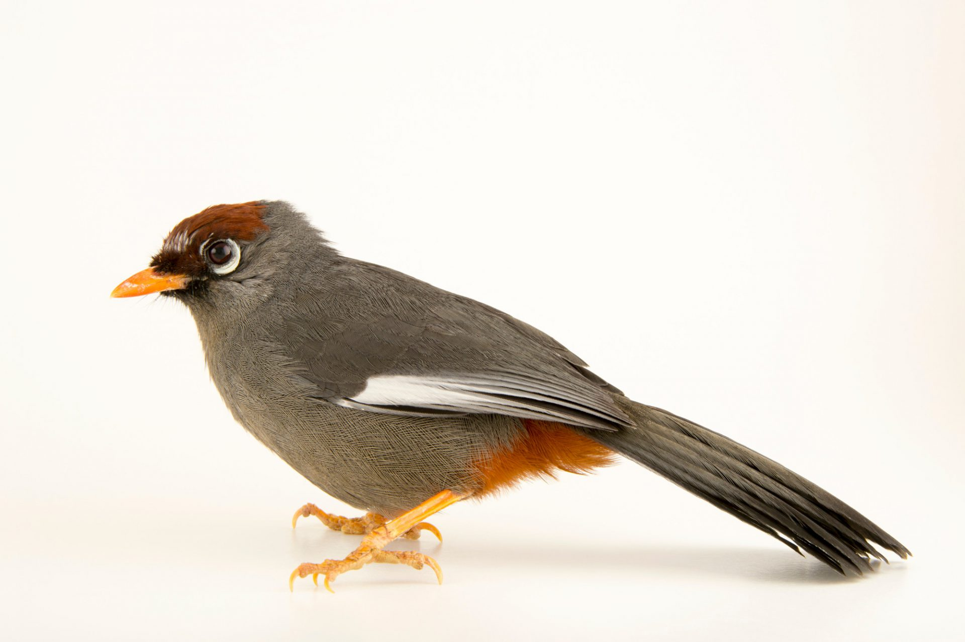 Photo: Spectacled laughingthrush (Garrulax mitratus) at the Plzen Zoo in the Czech Republic.