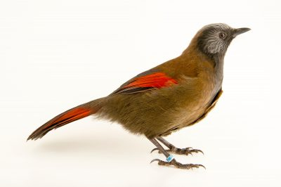 Photo: Red winged laughingthrush (Trochalopteron formosum formosum) at the Plzen Zoo in the Czech Republic.