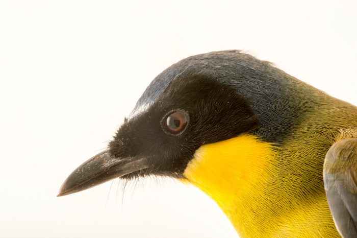 Photo: Blue crowned laughingthrush (Garrulax courtoisi) at the Plzen Zoo in the Czech Republic.