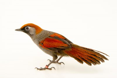 Photo: Red tailed laughingthrush (Trochalopteron milnei) at the Plzen Zoo in the Czech Republic.