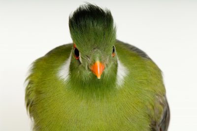 Photo: White-cheeked turaco (Tauraco leucotis leucotis) at the Bramble Park Zoo.