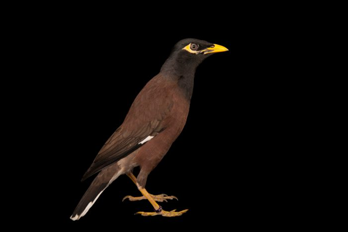 A common Myna or Indian Myna, (Acridotheres tristis tristis) from a private collection.