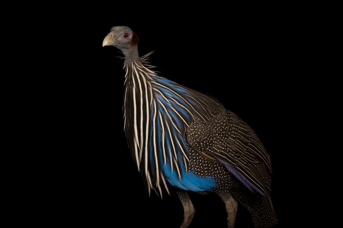 Photo: A Vulturine guineafowl, Acryllium vulturinum.