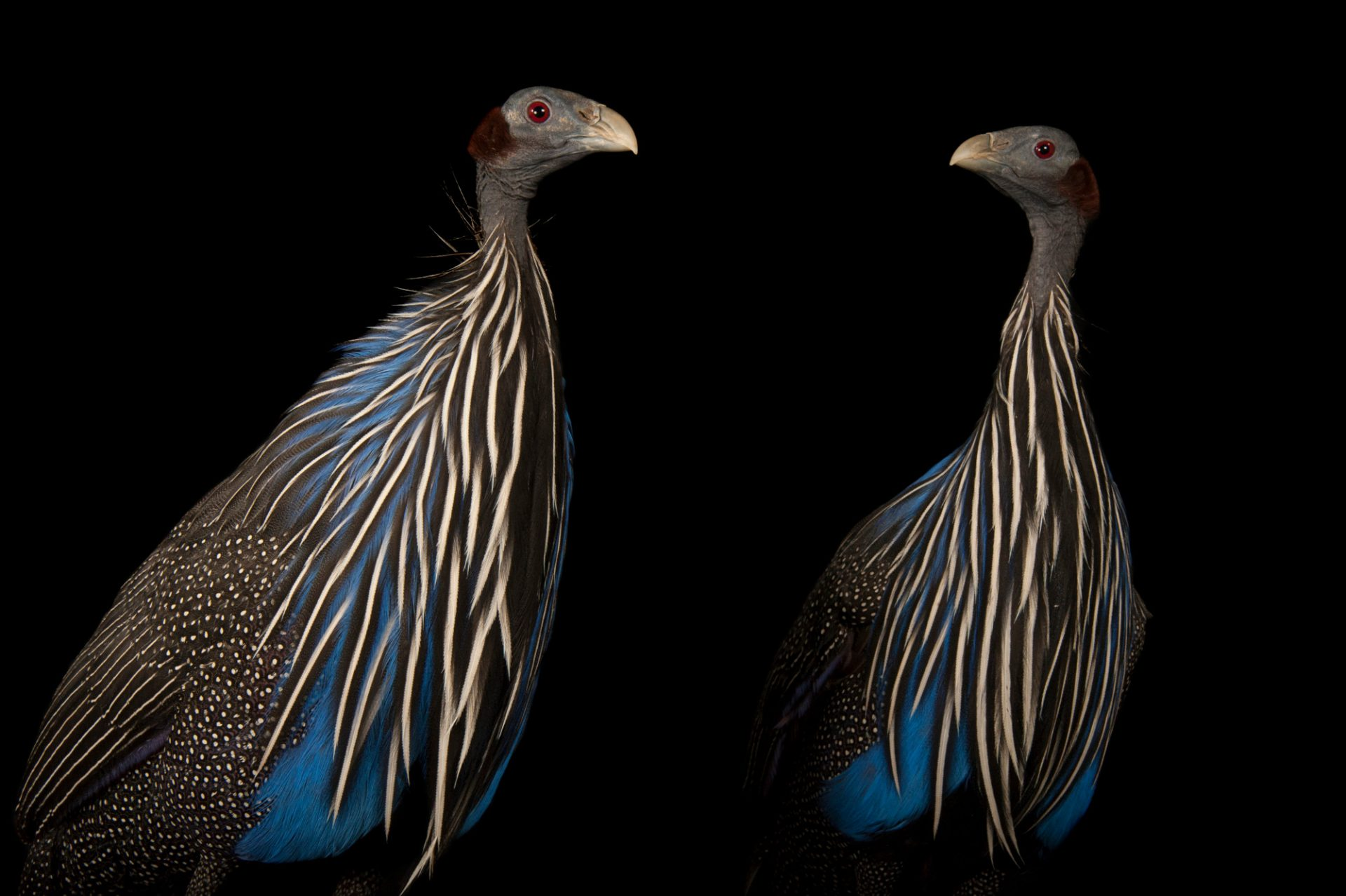 Photo: A pair of Vulturine guineafowl, Acryllium vulturinum.