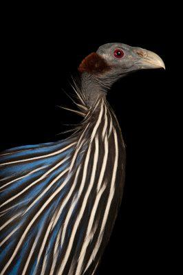 Photo: A Vulturine guineafowl, Acryllium vulturinum.