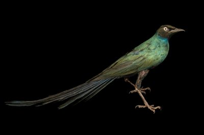 Photo: Long-tailed glossy starling ( Lamprotornis caudatus) from the private collection of Cornel Roels of Choussy, France.