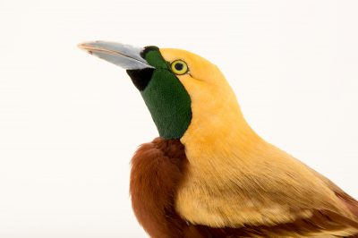 Photo: A male lesser bird-of-paradise (Paradisaea minor) in Choussy, France.
