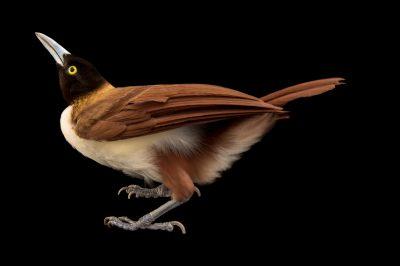 Photo: A female lesser bird-of-paradise (Paradisaea minor) in Choussy, France.