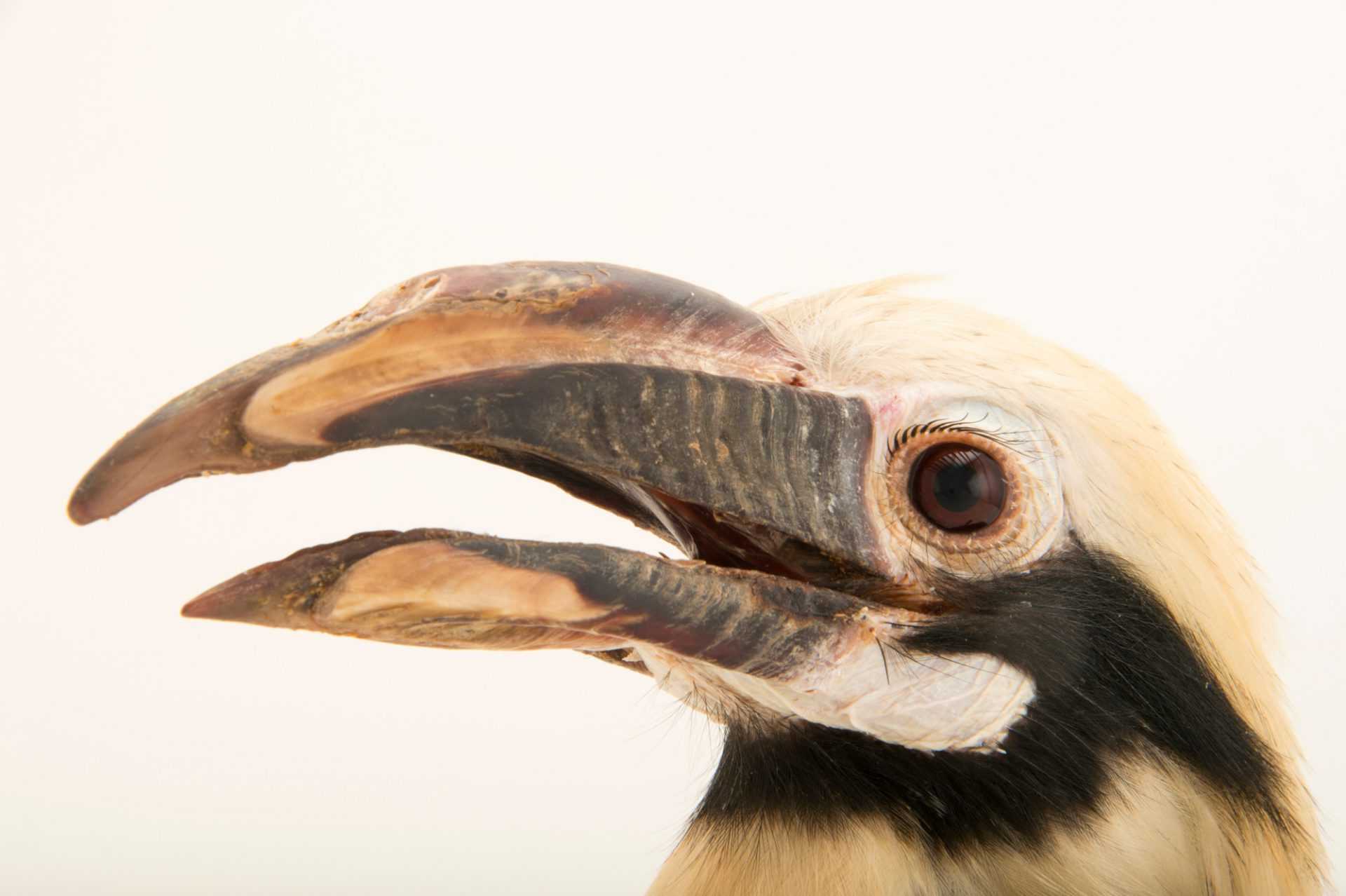 Photo: A male Mindanao tarictic hornbill (Penelopides affinis affinis) in Choussy, France.