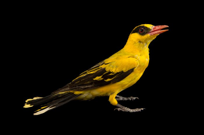 Photo: African golden oriole (Oriolus auratus) in Choussy, France.