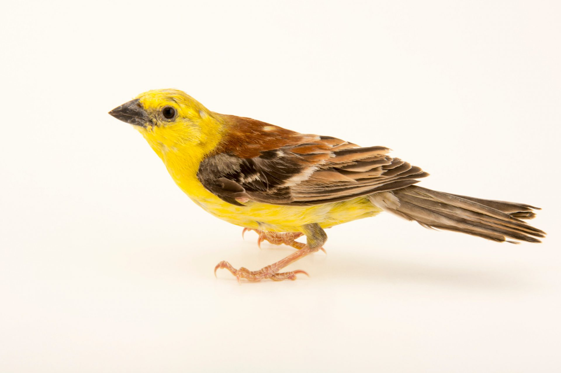 Photo: Sudan golden sparrow (Passer luteus) in Choussy, France.